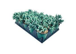 Blue Star Juniper | 15 Live 4 Inch Pots | Juniperus Squamata | Low Maint... - $135.98