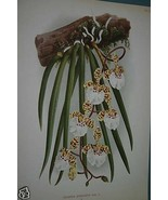 Lindenia Print Limited Edition Rare Oncidium Jonesianum Orchid Collector... - $15.19
