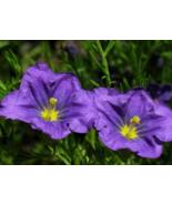 250 Pcs Seeds Nierembergia Hippomanica Caerulea Purple Robe Cup Flower - DL - $16.00