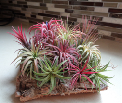 Tillandsia Ionantha Seeds * Soilless Cultivated Plants * 100 PCS Air pla... - $0.98