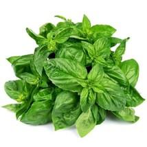 SHIP From US, 1/8 ounce 2500 Seeds Sweet Basil Herb, DIY Herb Seeds ZJ01 - $24.03