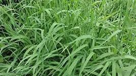 14 Seeds Sweet Grass Seeds, - $13.86