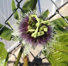 Purple Passion Fruit Plant - Passiflora Edulis 'Frederick' - Edible - $42.99