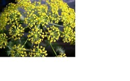 SHIPPED From US,PREMIUM SEED:135 Particles of Dill Mammoth, Hand-Packaged - $26.99