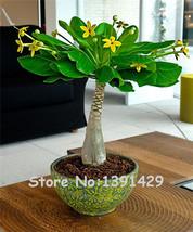 5Pcs Mini Pachira Macrocarpa Seeds,Hawaiian Make Money Tree Plant,Bonsai... - $1.50