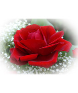 """First Red Rose,"" an A. Rose Designs note card - $5.95+"