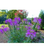 Hot Purple Spider Flower (Cleome) 30 SEEDS - BOLD BRIGHT COLOR! Comb.S/H! - $15.48