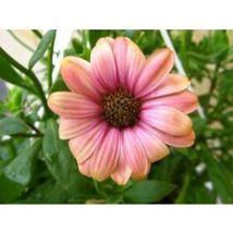 Salmon African Daisy Dimorphotheca Flower 25 Seeds #SFB11 - $18.17