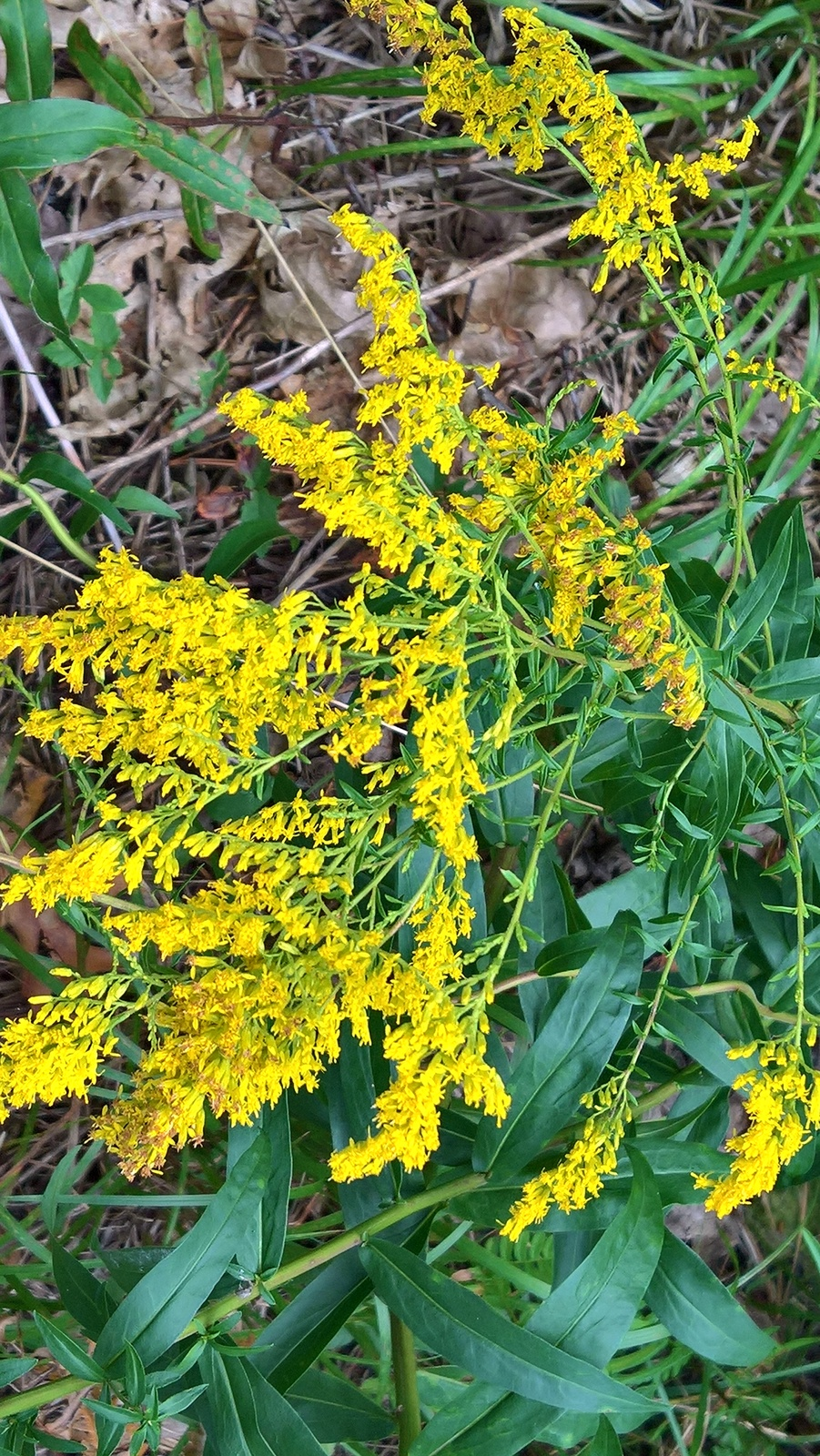 Organic Native Plant, Sweet Goldenrod, Solidago odora