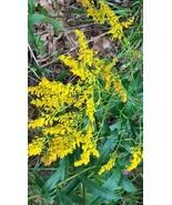 Organic Native Plant, Sweet Goldenrod, Solidago odora - $3.50