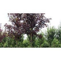 Prunus virginiana Shubert PURPLE CHOKECHERRY TREE Seeds #GRG03 - $18.17