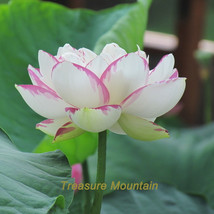 1 seeds / pack, 'Shalina' White Lotus Flower Water Lily Flower Aquatic Plants DI - $6.43