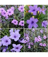 RUELLIA BRITTONIANA PERENNIAL WELL ROOTED PLANTS SHRUB GARDEN-12 MEXICAN... - $34.99