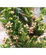 Japanese cedar Black Dragon Cryptomeria Tree Live Plant Trade Gallon Pot - $63.99