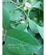 Organic Ashwaghanda 50 Seeds - Stress./Anxiety Ayurvedic tonic  - $2.96