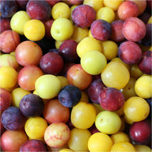 Plum cherry, Prunus cerasifera, mixed colors 50+ seeds - $8.99