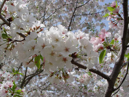Snowgoose Flowering Cherry Tree image 5