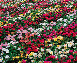 50 Pcs Rose Moss Seed, Mixed Rose Moss Seed, Heirloom Ground Cover, Low ... - $13.99