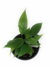 "4"" Pot Spathiphyllum Claudia Peace Lily Spathiphyllum Claudia - FREESHIPPING - $46.00"