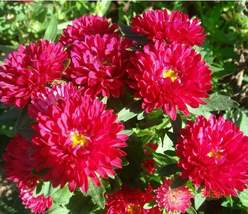 150 Peony Aster Seeds Duchess Scarlet Aster FLOWER SEEDS Paeony - Outdoor Living - $53.99