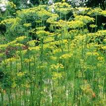 Dill Seeds | Dill Weed Seeds | Anethum Graveolens Seeds | 500 seeds - $24.18