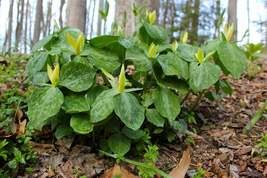 Yellow Trillium 5 bulbs Native Wildflower image 2