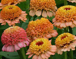 50 pcs Zinnia 'Zinderella Peach' Cut Flower Seeds Very Lovely - $13.96