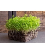 5 Variety Yummy Edible Vegetable Carrot Microgreens Fresh Seeds #TLM1 - $18.99+