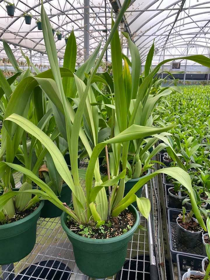 Primary image for Wilsonara Tropic Breeze 'Everglades' HCC/AOS Orchid Plant ~~HUGE~~ Oncidium 0925