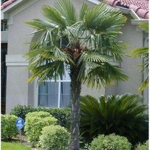 SHIP From US Windmill Palm Tree Seeds (Trachycarpus fortunei) 10+Seeds UTS2 - $24.99