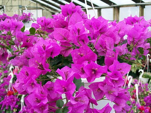 Royal Purple Bougainvillea Plant -Indoors/Out or Bonsai