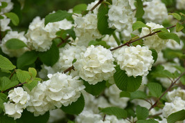 Viburnum Popcorn Japanese Snowball Bush Established 1 Plant in 1 Gallon Pot - $54.99