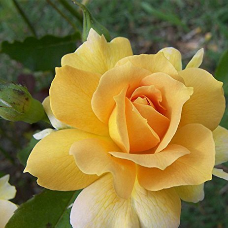 Primary image for Red Stripe Orange Rose Flower Seeds 50 Seeds / Pack, Strong Fragrant Rose Garden