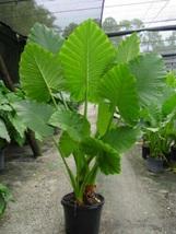 Portora Alocasia Elephant Ear Live Plant  For Garden#TkGrayGarden - $46.00
