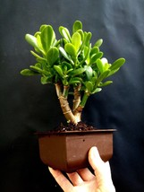 "Crassula Ovata Bonsai ""lucky plant"", 10-year old plant - $44.45"