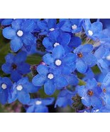 Bugloss- Blue Angel- 50 Seeds - $1.19