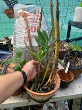 ~WHOPPER~ Dendrobium Densiflorum Species Orchid Plant :: :: ;; image 5