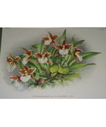 Lindenia Print Limited Edition Odontoglossum Rossi Pauwelsiae Orchid Col... - $15.19