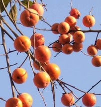 Maekawa Jiro Japanese Persimmon Tree Grafted Self Pollinating Non Astringent - $38.99