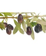 Manzanilla Olive Tree Live Plant Cold Hardy Fruit  1-2' - $38.99