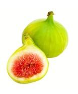 Green Ischia Fig Tree Ficus Carica Coeur Verdale Verte Rare Grown in the... - $39.99
