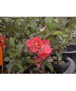 Quince Chaenomeles Red Flowering Plant Older Cold Hardy Chaenomeles Japo... - $39.99