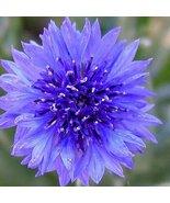 BACHELOR BUTTON FLOWER SEEDS - 100 FRESH SEEDS ... - $1.49