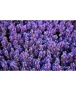 LAVENDER FLOWER SEEDS - 25 FRESH SEEDS - $1.49