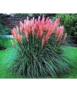 PINK PAMPAS GRASS SEEDS - 25 FRESH SEEDS - $1.49