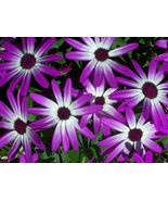 AFRICAN DAISY FLOWER SEEDS - 25 FRESH SEEDS   FREE SHIPPING - $1.49