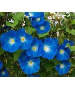 HEAVENLY BLUE MORNING GLORY SEEDS - 25 FRESH SEEDS - $1.49