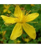 SAINT JOHNS WORT FLOWER SEEDS   50 FRESH SEEDS ... - $1.49