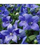 BLUE BALLOON FLOWER SEEDS - 25 FRESH SEEDS - $1.49