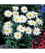 SHASTA DAISY FLOWER SEEDS - 100 FRESH SEEDS - $1.49